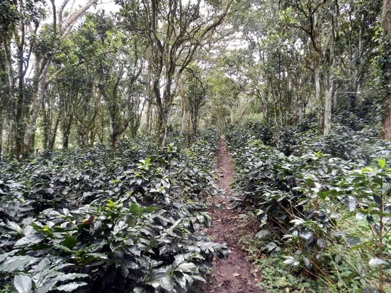 《エル・ボスケ農園 ブルボン100%》ニカラグア